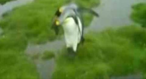 Πιγκουίνοι με φοβία στο νερό!