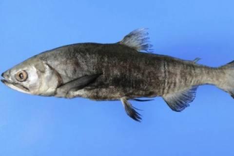 Επανεμφανίστηκε… εξαφανισμένο είδος ψαριού