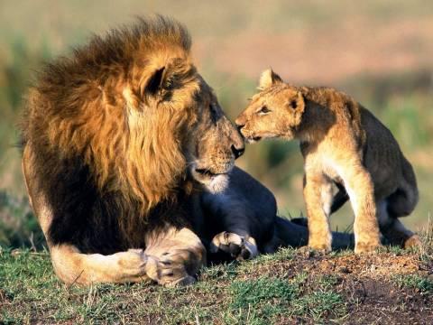 Σκοτώνουν τα λιοντάρια με τοξικά φυτοφάρμακα