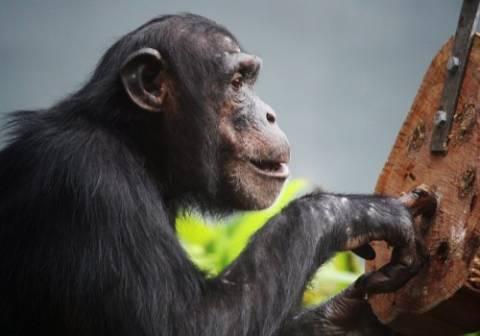 Ο αλτρουισμός των χιμπατζήδων