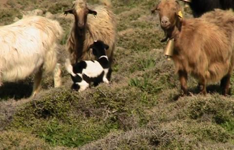 «Βαμπίρ» επιτίθεται σε κατσίκες