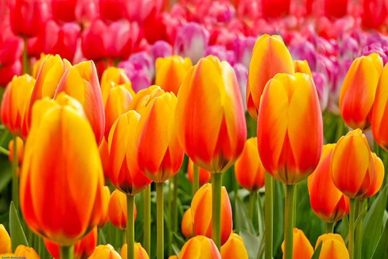 Ύποπτο βακτήριο σε ολλανδικά λουλούδια