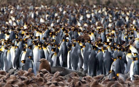 Στη …γύρα 200.000 πιγκουίνοι!