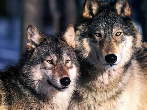 Φόβος και τρόμος οι λύκοι στην ορεινή Φωκίδα