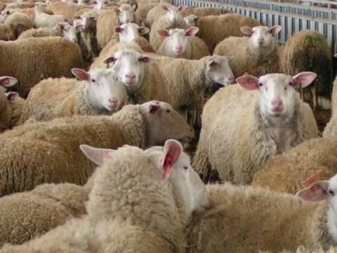 «Άδειασαν» 80 πρόβατα από στάβλο στο Ηράκλειο