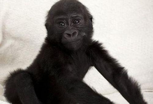 gorillaki2