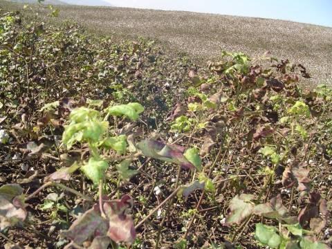 Ζημιές σε καλλιέργειες από το πράσινο σκουλήκι