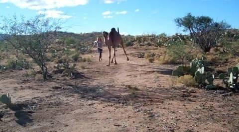 Κόντρα με μια…καμήλα