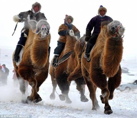 Καμήλες τρέχουν στο…χιόνι