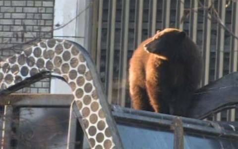 Αρκούδα πήγε βόλτα με σκουπιδιάρικο!