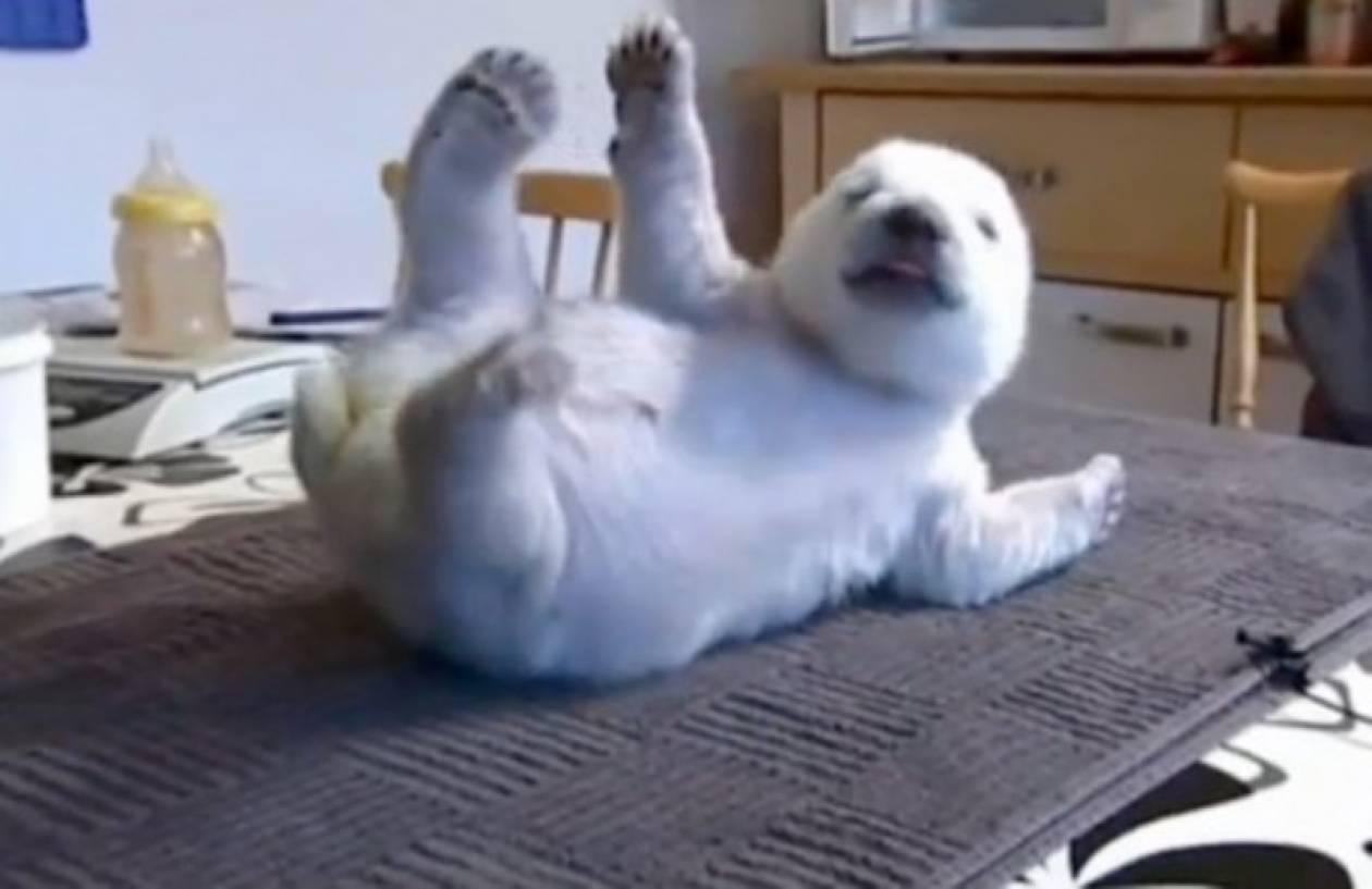 Σίκου, η πολική αρκούδα που τρέφεται με μπιμπερό…