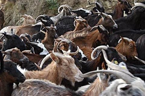 Δ. Μακεδονία: Πεθαίνουν από το κρύο αιγοπρόβατα