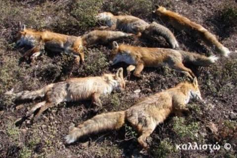 Δηλητηρίασαν εφτά αλεπούδες!