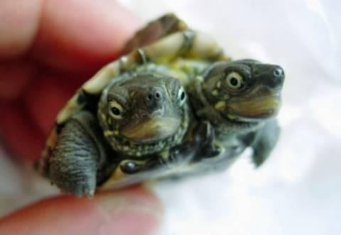 Χελώνα με δύο κεφάλια!