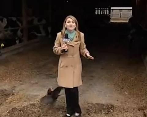 Κόκορας επιτίθεται σε ρεπόρτερ