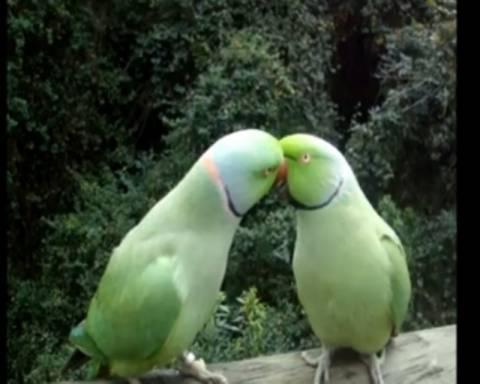 Δυο απίθανα παπαγαλάκια... συζητάνε και φιλιούνται