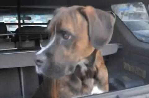 Βίντεο: «Τρελαμένος» σκύλος υποδέχεται το αφεντικό του