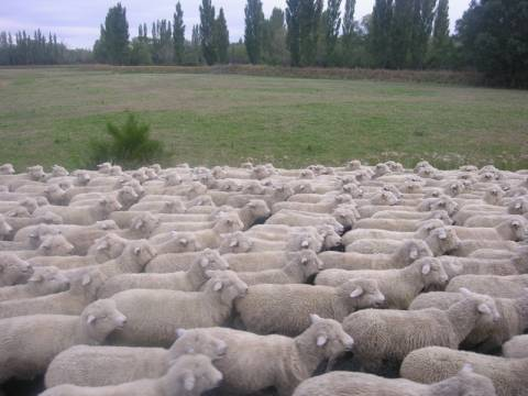 Καταδίωξη Πακιστανών για... πρόβατα