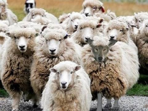 Έκλεψαν πρόβατα και αρνιά…