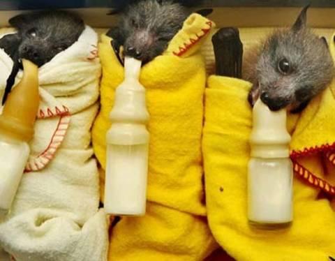 Νυχτερίδες με μπιμπερό και τυλιγμένες σε κουβέρτες