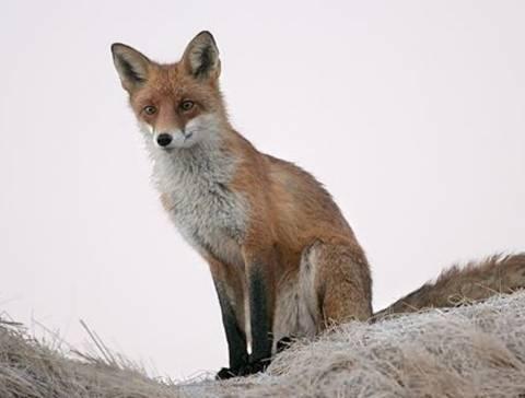 Οικογένεια στην Εύβοια αντί για αρνί έφαγε αλεπού!