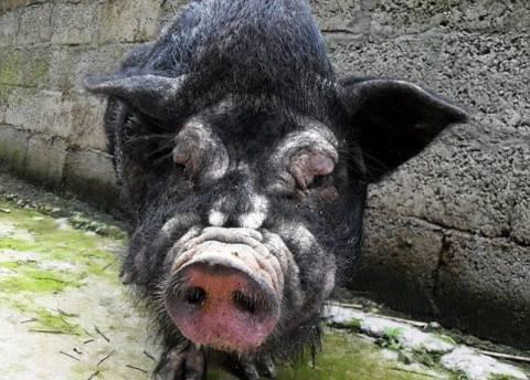 Το πιο άσχημο γουρούνι…