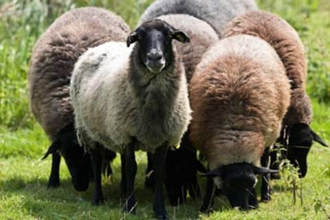 Κοπάδι με πρόβατα βόσκησε …χασίς!