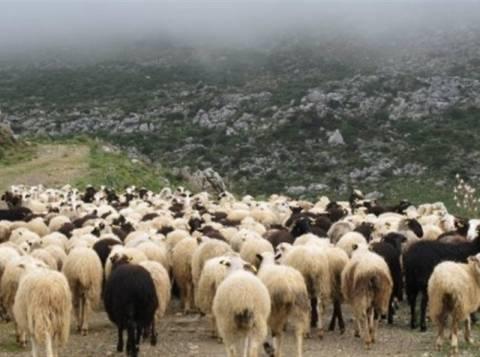 Νέα καταγγελία για ζωοκλοπές στο Ηράκλειο