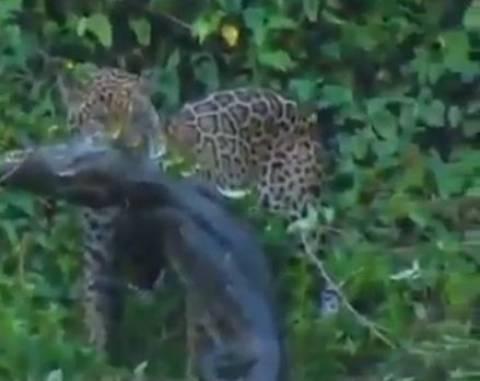 Βίντεο:Τζάγκουαρ σκοτώνει κροκόδειλο