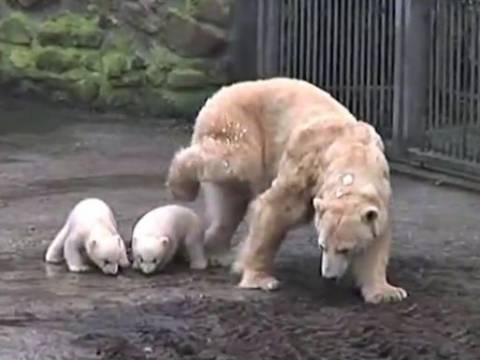 Βίντεο: Δυο αρκουδάκια βγήκαν για πρώτη φορά από την σπηλιά