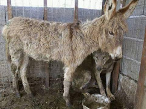 Κτηνωδία: Θέλησαν να ταΐσουν λύκο με μικρό γαϊδουράκι