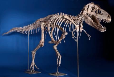 Σκελετός τυραννόσαυρου βγήκε στο «σφυρί»