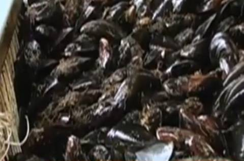 Bίντεο: Κατασχέθηκαν 883 κιλά απαγορευμένα όστρακα στην Αλεξανδρούπολη