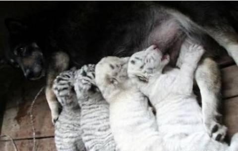 Σκυλίτσα θηλάζει 4 εγκαταλελειμμένα τιγράκια!