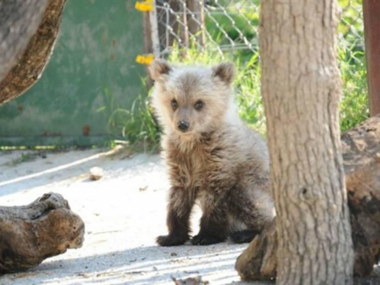 Πέθανε το ορφανό αρκουδάκι του Αρκτούρου