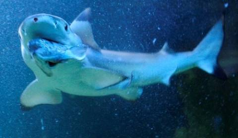 Οι καρχαρίες αγάπησαν την Άπω Ανατολή