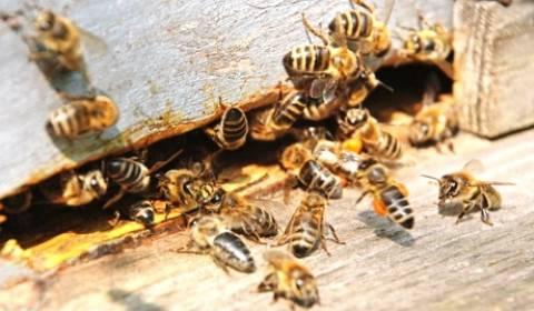 Επίθεση μελισσών σε μοναχούς της Ταϊλάνδης