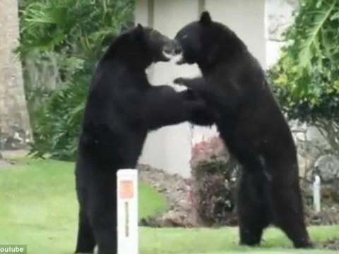 Αρκούδες τσακώνονται... on camera! (vid)