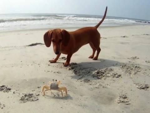 Σκύλος εναντίον καβουριού (vid)