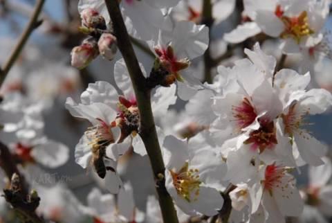 Ελπιδοφόρες αποδόσεις εμφανίζει η καλλιέργεια του αμύγδαλου
