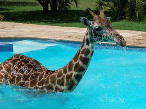 Καμηλοπάρδαλη κάνει βουτιές σε πισίνα! (pics)