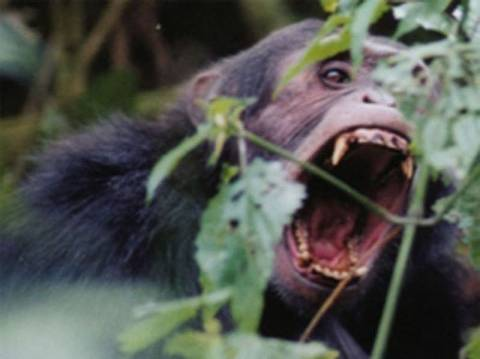 Νότια Αφρική: Χιμπατζήδες τραυμάτισαν σοβαρά ξεναγό πάρκου