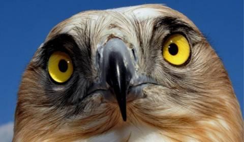 Σε χέρια απαγωγέων το διάσημο γεράκι του Ουίμπλετον