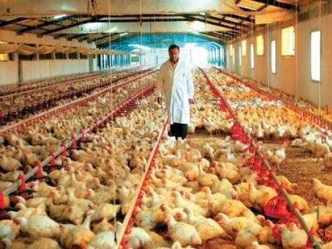 Ο καύσωνας στοίχισε τη ζωή σε 5.000 κότες