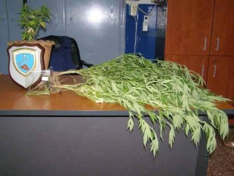 Καλλιεργούσαν κάνναβη σε αυλή παιδότοπου!