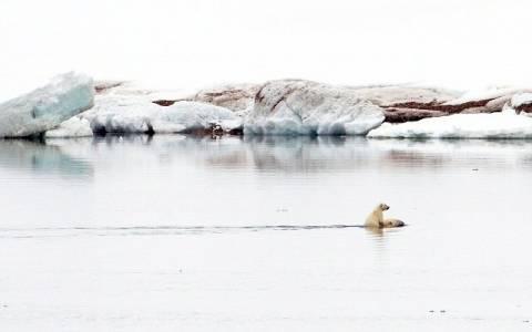 Αρκούδα κολυμπά με το μωρό της στην πλάτη (pics)