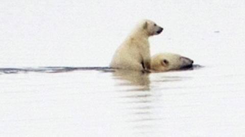 Πολική αρκούδα μεταφέρει στην πλάτη το μικρό της