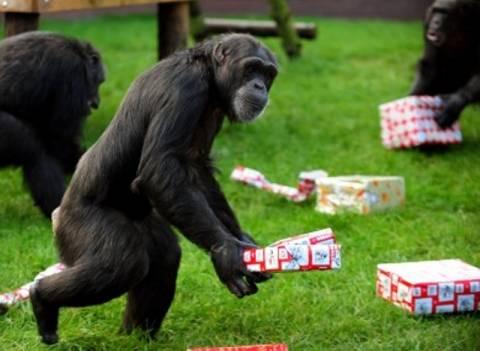 Χιμπατζήδες τραυμάτισαν κοριτσάκι σε ζωολογικό πάρκο