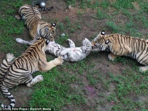 ΣΟΚ: Τίγρεις έφαγαν ζωντανό τιγράκι επειδή ήταν νηστικές (pics)