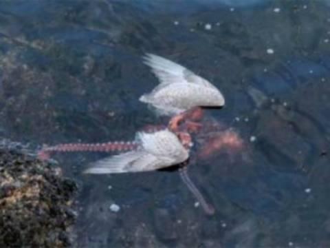 Φωτογραφίες: Χταπόδι πνίγει γλάρο τραβώντας τον στο βυθό!